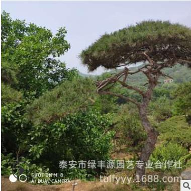大量供应绿化工程造型景松 多形状现挖现卖 造型景松
