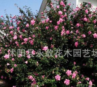 木槿苗批发工程绿化苗木庭院装饰园林精品盆景重瓣木槿花苗