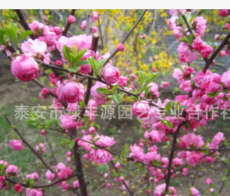低价销售榆叶梅 行道树榆叶梅超低价格批发零售自主培育专业供应