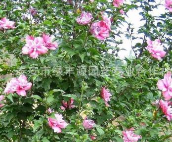 批发出售现挖现卖木槿苗 自产自销红花木槿苗 直销重瓣木槿树苗