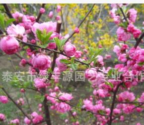 大量批发易成活榆叶梅 供应风景树榆叶梅 观花榆叶梅基地 易成活