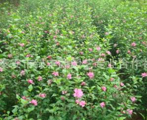 批量出售木槿树苗 多花色重瓣大花木槿苗 直销木槿苗