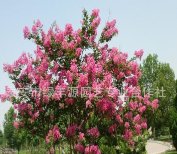 厂家直销红花紫薇树苗 大小规格百日红 绿化苗百日红 量大从优