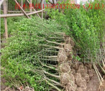 农户价抛售2-5公分的独干木槿 丛生木槿 木槿批发 多分支规格全