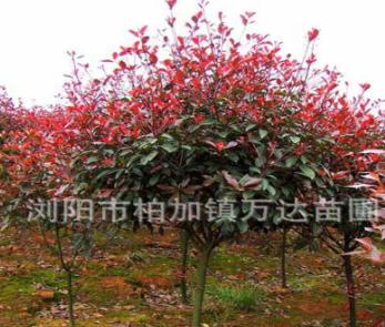 3公分单杆红叶石楠批发 高杆红叶石楠树价格尽在湖南万达苗圃