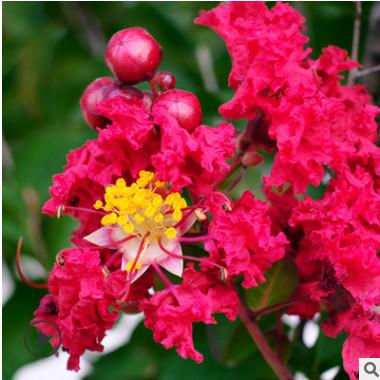紫薇树苗红火箭紫薇苗红火球百日红紫薇树小苗供应庭院观赏植物