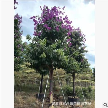 苗木绿化基地大花紫薇树 供应大叶紫薇 百日红 行道树 风景树