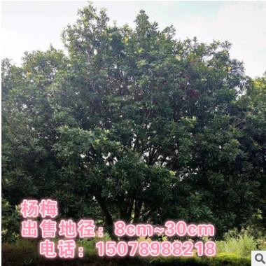 广西杨梅 地径18cm杨梅 杨梅大树 半冠杨梅 骨架杨梅 球型杨梅