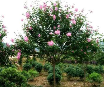 供应木槿苗 园林工程绿化 湖南丛生木槿树苗批发