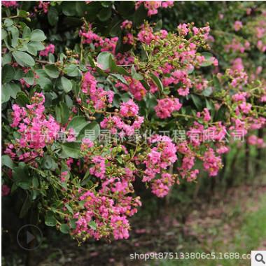红花紫薇树苗批发 园林绿化苗木百日红 庭院观花植物红花紫薇