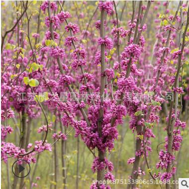 行道美化紫荆树苗批发 满堂红丛生紫荆苗庭院观花植物紫荆花树