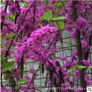 行道美化紫荆树苗批发 满堂红丛生紫荆苗庭院观花植物规格齐全