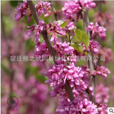 紫荆树苗批发园林道路美化花木独杆紫荆花树苗满堂红庭院观花植物