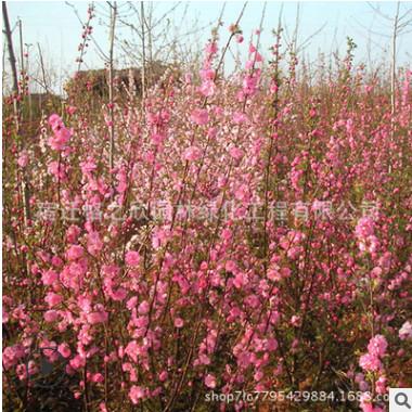 榆叶梅树苗批发 庭院观花植物工程绿化苗木 精品嫁接榆叶梅小苗