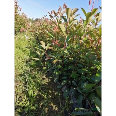 精品大杯红叶石楠高度40以上冠幅25-30
