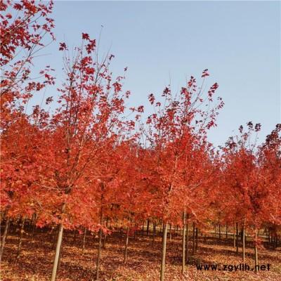 红点红枫苗  秋火焰 绿化苗木 大量供应
