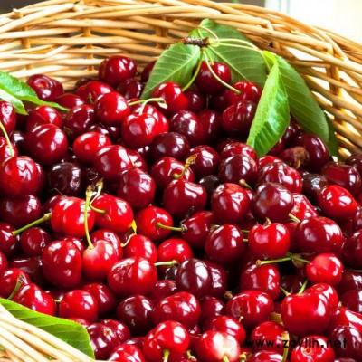 供应 **供货商  樱桃苗 二年生樱桃树 绿化苗木  红灯  价格电议