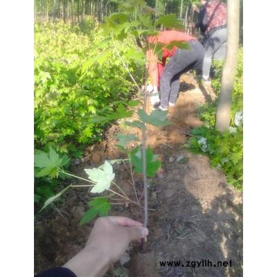 沃得园林彩叶绿化苗木1-5公分美国红枫树苗 加拿大红枫 日本红枫苗