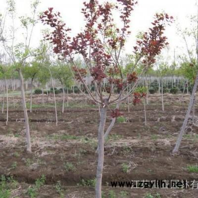 彩叶绿化苗木-美国红栌小苗,江苏富春园林是**美国红栌工程树苗的大型种植基地,苗圃现货出售 价格低 规格全,欢迎采购批发