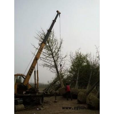 银杏树价格   20公分500元 质量有保证  服务  绿化苗木 30公分嫁接银杏树