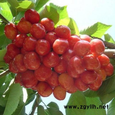 供应 **供货商  樱桃苗 二年生樱桃树 绿化苗木  拉宾斯  价格电议