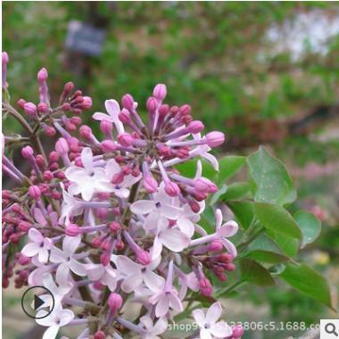 紫丁香树苗批发工程绿化苗木独杆丛生丁香花树庭院观赏花卉