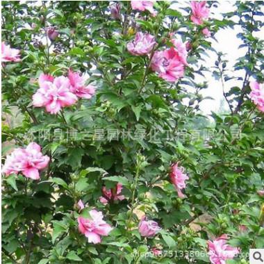 木槿树苗批发 园林绿化苗木 庭院盆栽花卉木槿花苗 室内装饰