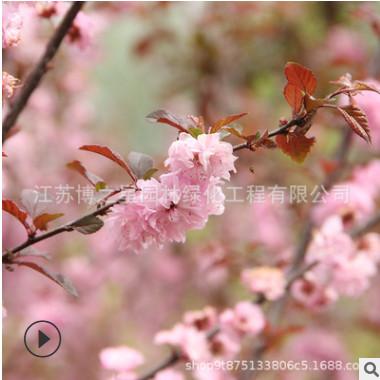 榆叶梅树苗批发 庭院盆栽花卉 精品盆景嫁接榆叶梅苗绿化苗木