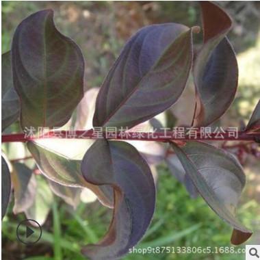 美国紫薇树苗批发 紫叶红花紫薇苗赤红紫叶紫薇树苗观叶植物