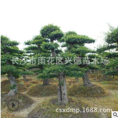 求购造型榆树 湖南15公分造型丛生榆树桩 绿化苗木