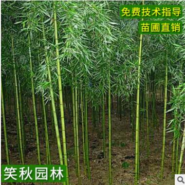 工程绿化竹子苗 刚竹 庭院装饰造景植物四季常青园林绿化刚竹苗