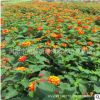 湖南基地 五色梅盆栽又名马樱丹 适合花园种植 花期超长花卉