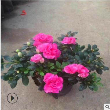 湖南基地杜鹃花批发 盆栽西洋杜鹃 西洋杜鹃杯苗庭院花卉摆花佳品