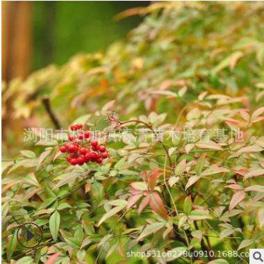 湖南基地批发南天竹树苗 红天竹小苗 天竺盆栽绿化用苗 叶色多变