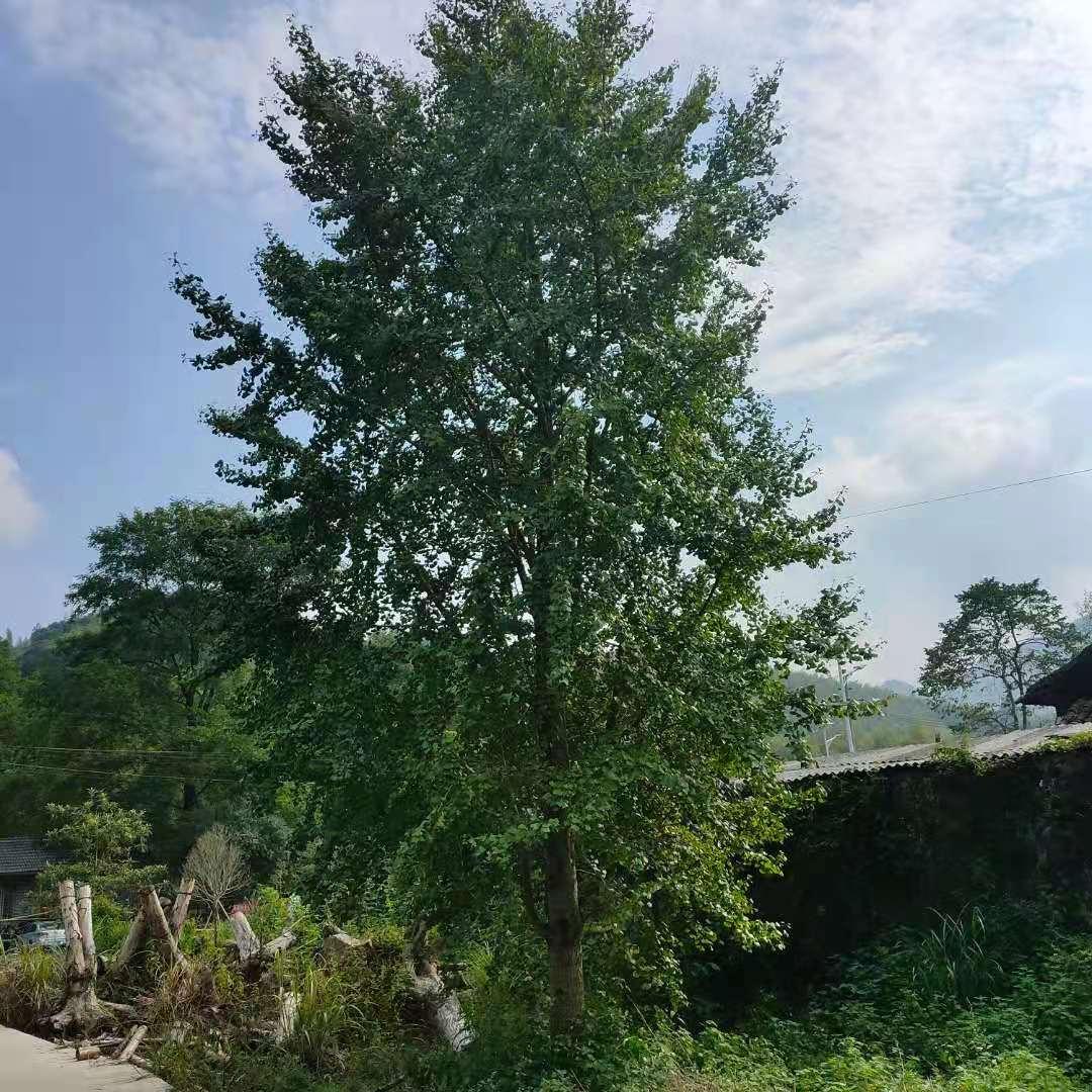 银杏树,10-100公分