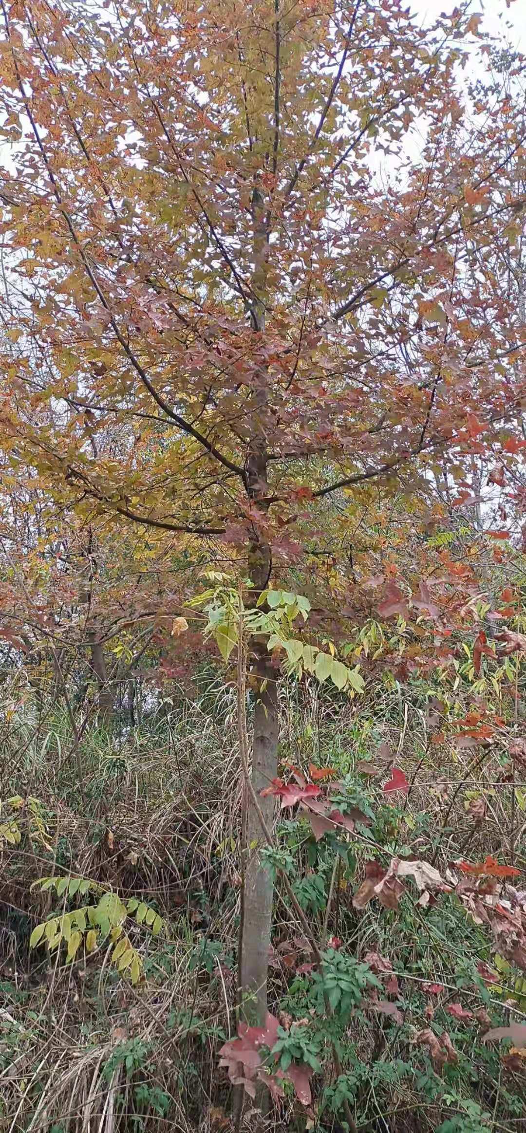 枫香10-40公分,树形优美,价格实惠,欢迎咨询