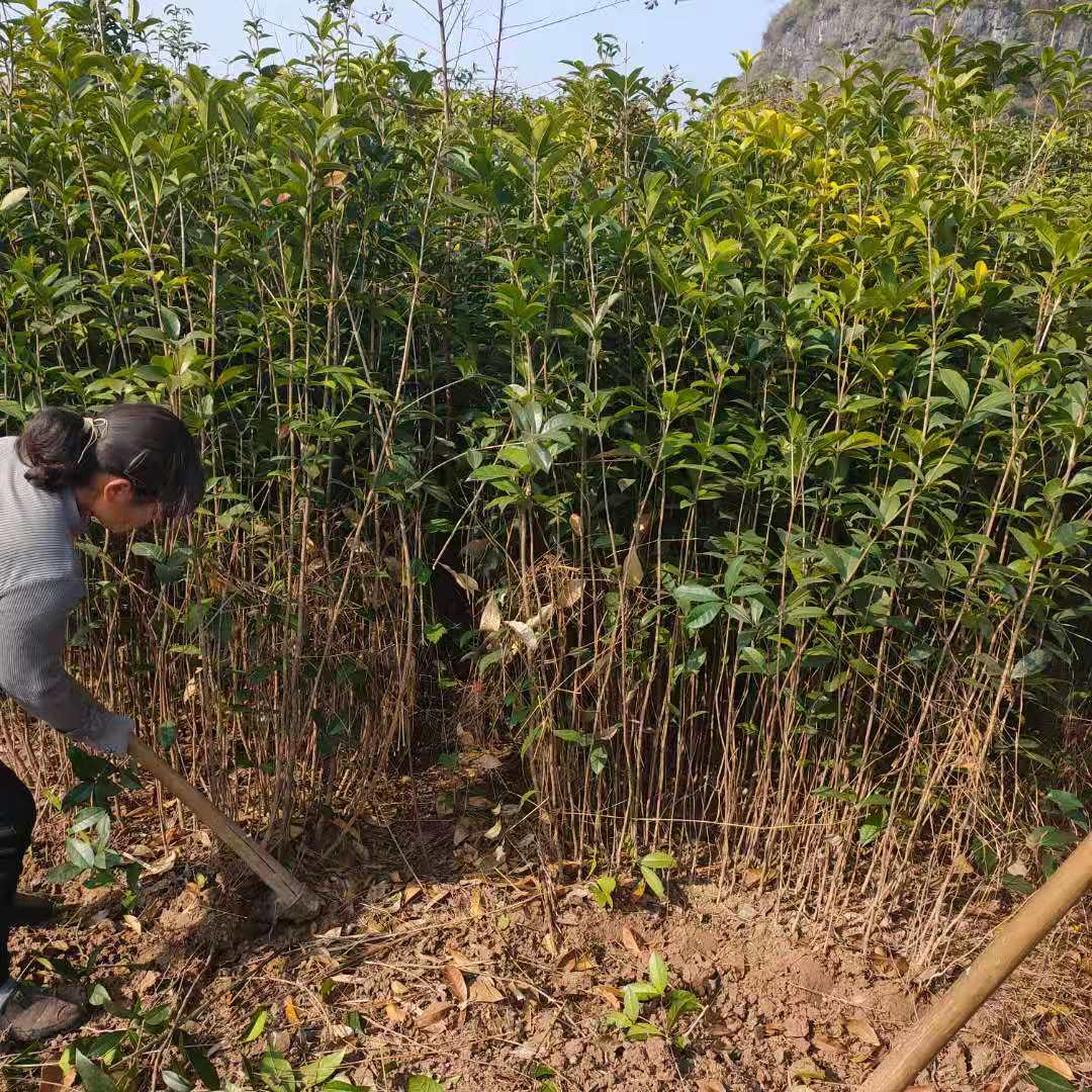 桂花树小苗大量供应