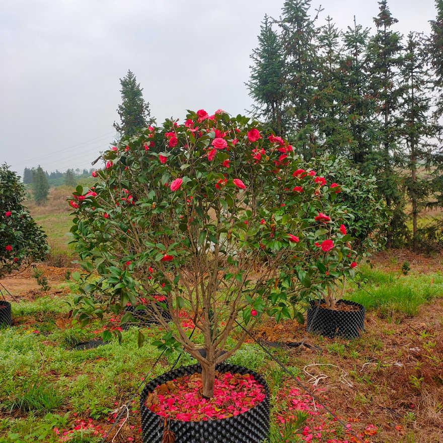 茶花,地径5-10公分,冠1.5-2.5米,高度1.5-3米