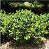 湖南和盛苗圃枸骨球工程用苗别墅庭院美观球室内盆栽批发