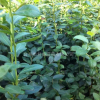 蓝莓,属于杜鹃花科(Ericaceae)越桔属(Vaccinium L)植物,多年生落叶或常绿灌木。原产于北美,全世界约400个种,我国约91个种28
