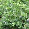 公司拥有优质蓝莓生产示范基地多个共计1500多亩,组培实验室一个,年产200万株蓝莓良种引繁育基地一个,蓝莓新品种种质资源圃一