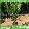 非洲茉莉基地直供 非洲茉莉 绿化工程苗木 大量批发