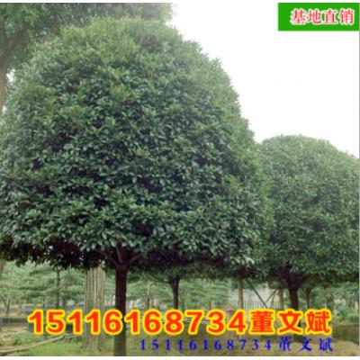 批发骨架香樟树 移植规格齐全 量大从优香樟常绿乔木湖南基地厂家