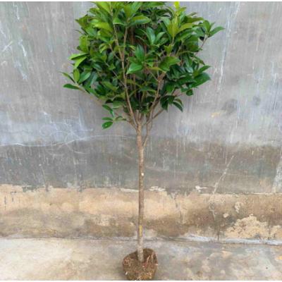 桂花树苗常青盆栽植物室内四季桂月月桂八月桂树批发
