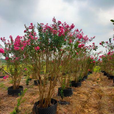 丛生紫薇假植苗,高度2.5米。冠2米