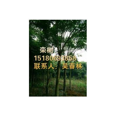 今日栾树最新报价信息_江西哪家的栾树价格便宜_专业栾树供应基地