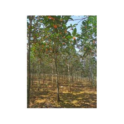 单桂厂里批发,5-6公分丹桂苗木基地,江西九江朱砂红丹桂出售