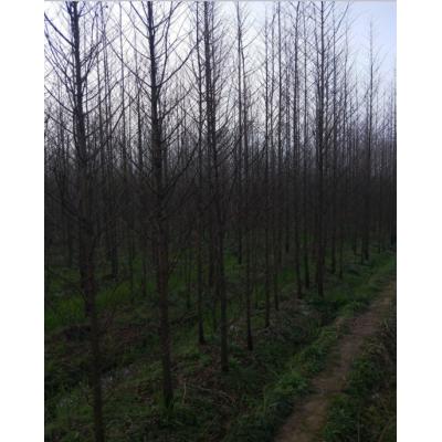 江西水杉供应,九江1-10公分水杉,水杉报价